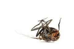 Μύγα που απομονώνεται νεκρή στο λευκό Στοκ εικόνα με δικαίωμα ελεύθερης χρήσης