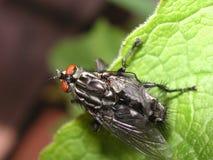 Μύγα που επεκτείνει τα φτερά του Στοκ φωτογραφίες με δικαίωμα ελεύθερης χρήσης
