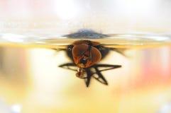 Μύγα που κολυμπά στην μπύρα Στοκ Φωτογραφία