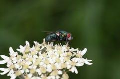Μύγα που στέκεται στα άσπρα λουλούδια Στοκ φωτογραφίες με δικαίωμα ελεύθερης χρήσης