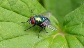 μύγα πράσινη Στοκ φωτογραφίες με δικαίωμα ελεύθερης χρήσης