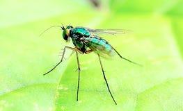μύγα πράσινη Στοκ Φωτογραφίες