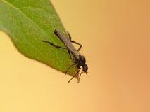 Μύγα πτώσης στο φύλλο Στοκ φωτογραφία με δικαίωμα ελεύθερης χρήσης