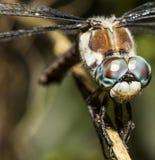 Μύγα δράκων επάνω στενή Στοκ εικόνα με δικαίωμα ελεύθερης χρήσης