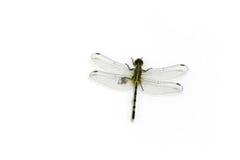 Μύγα δράκων με ευρύ ανοικτό φτερών Στοκ Εικόνες