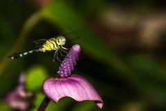 Μύγα δράκων που στηρίζεται στο λουλούδι Στοκ Εικόνες