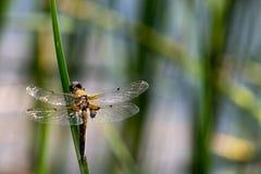 Μύγα δράκων, πραγματικά μεγάλη Στοκ εικόνες με δικαίωμα ελεύθερης χρήσης