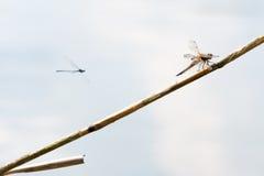 Μύγα δράκων, πραγματικά μεγάλη Στοκ Φωτογραφία