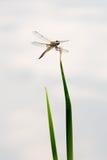 Μύγα δράκων, πραγματικά μεγάλη Στοκ εικόνα με δικαίωμα ελεύθερης χρήσης