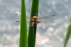 Μύγα δράκων, πραγματικά μεγάλη Στοκ φωτογραφία με δικαίωμα ελεύθερης χρήσης