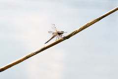 Μύγα δράκων, πραγματικά μεγάλη Στοκ Εικόνες