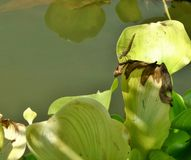 Μύγα δράκων στα πράσινα φύλλα υάκινθων νερού Στοκ Φωτογραφία