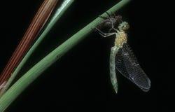 Μύγα δράκων Στοκ εικόνες με δικαίωμα ελεύθερης χρήσης