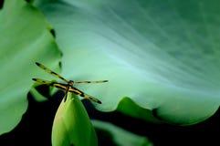 Μύγα δράκων Στοκ Φωτογραφία