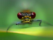 Μύγα δράκων Στοκ φωτογραφίες με δικαίωμα ελεύθερης χρήσης
