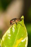 Μύγα σάρκας Στοκ Εικόνες