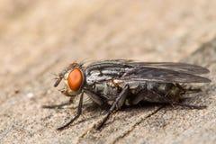 Μύγα σάρκας Στοκ φωτογραφίες με δικαίωμα ελεύθερης χρήσης