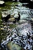 Μύγα σε έναν βράχο στον ποταμό Στοκ εικόνα με δικαίωμα ελεύθερης χρήσης