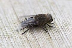 Μύγα σε έναν πάγκο Στοκ Φωτογραφίες
