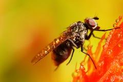 Μύγα σε ένα λουλούδι Στοκ φωτογραφία με δικαίωμα ελεύθερης χρήσης