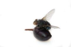Μύγα σε ένα μούρο Στοκ Φωτογραφία