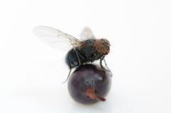 Μύγα σε ένα μούρο Στοκ Φωτογραφίες