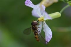 Μύγα σε ένα λουλούδι Στοκ Φωτογραφία