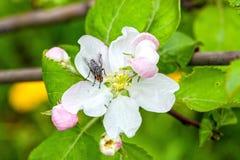 Μύγα σε ένα λουλούδι Apple-δέντρων Στοκ Φωτογραφίες