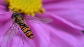 Μύγα σε ένα πορφυρό λουλούδι Στοκ εικόνες με δικαίωμα ελεύθερης χρήσης