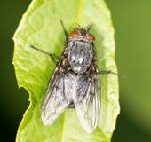 Μύγα σε ένα πράσινο φύλλο κλείστε Στοκ Εικόνες