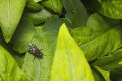 Μύγα σε ένα πράσινο φύλλο Στοκ Φωτογραφία