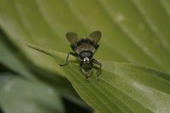 Μύγα σε ένα φύλλο Στοκ Εικόνες