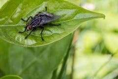 Μύγα σε ένα φύλλο Στοκ Φωτογραφία