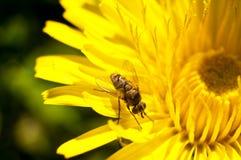 Μύγα σε μια πικραλίδα Στοκ εικόνα με δικαίωμα ελεύθερης χρήσης