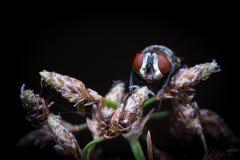 Μύγα σπιτιών που στηρίζεται στη χλόη Στοκ Εικόνες