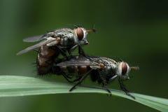Μύγα σπιτιών στη Νοτιοανατολική Ασία στοκ εικόνα