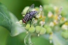 Μύγα σπιτιών στο φύλλο στοκ εικόνα με δικαίωμα ελεύθερης χρήσης