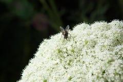 Μύγα στα άσπρα λουλούδια Στοκ Φωτογραφίες