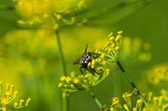 Μύγα στα κίτρινα λουλούδια Στοκ φωτογραφία με δικαίωμα ελεύθερης χρήσης
