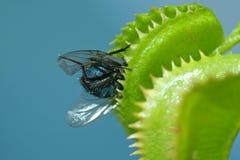 Μύγα στην παγίδα Στοκ Εικόνες