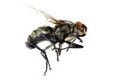 Μύγα στη μακροεντολή αέρα Στοκ Εικόνες