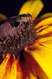 Μύγα στη μαύρη Eyed Susan Στοκ εικόνα με δικαίωμα ελεύθερης χρήσης