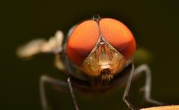 Μύγα στη Μαλαισία Στοκ φωτογραφίες με δικαίωμα ελεύθερης χρήσης