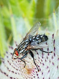 Μύγα στον κάρδο Στοκ εικόνα με δικαίωμα ελεύθερης χρήσης