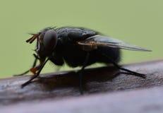Μύγα στον κήπο Στοκ Φωτογραφίες
