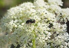 Μύγα στο έδαφος παλαιότερο Στοκ Εικόνες