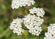 Μύγα στο έδαφος παλαιότερο Στοκ Φωτογραφία