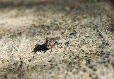 Μύγα στο έδαφος Στοκ φωτογραφίες με δικαίωμα ελεύθερης χρήσης