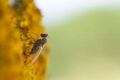 Μύγα στο βρύο yelow Στοκ Εικόνα
