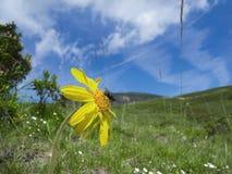Μύγα στο κίτρινο άνθος υπαίθριο Στοκ εικόνα με δικαίωμα ελεύθερης χρήσης